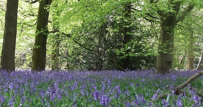 Bluebells in woodland low