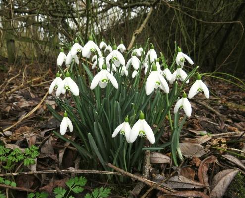Snowdrops in Denham